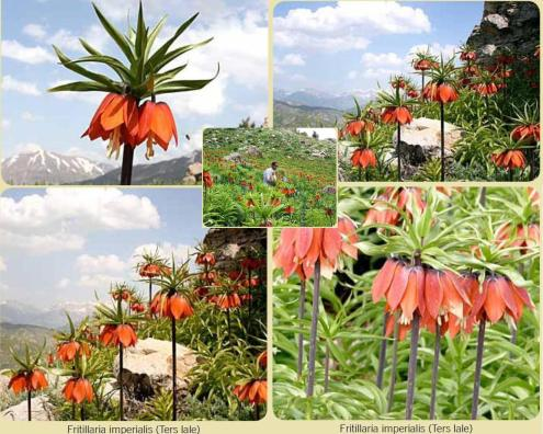 Ters-Lale_Kaiserkrone (Fritillaria imperialis)